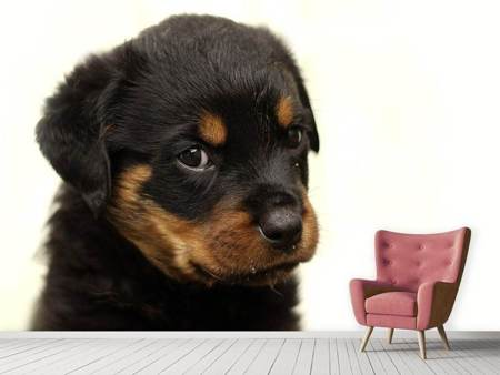 Fototapet Rottweiler puppy to fall in love