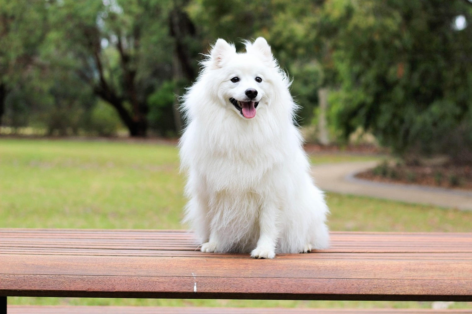 Fototapet The Spitz as a young dog