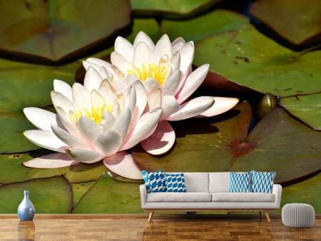 Fototapet Water lily duo in white